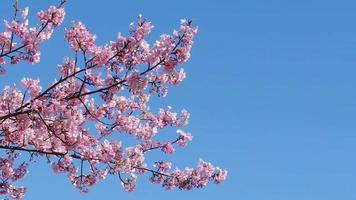 flor de cerejeira rosa japonesa video