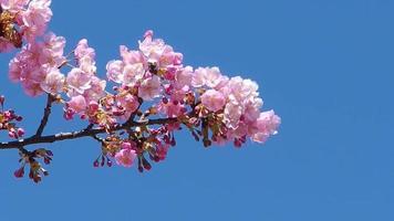 árvore de sakura japonesa flor de cerejeira rosa movendo-se ao longo do vento na primavera. video