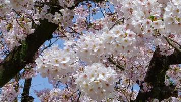 Flor de cerejeira japonesa video