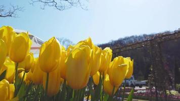 campo de tulipanes amarillos video