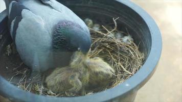 paloma madre alimentando a su bebé