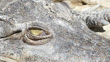olho de crocodilo video