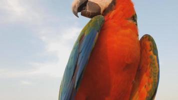 close up de papagaio arara azul e dourado