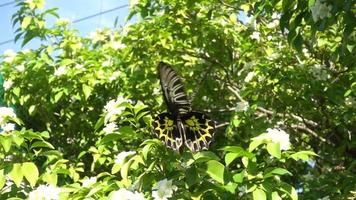 Butterflies eating nectar from pollen, video slow motion,