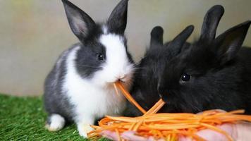 lindos coelhos de 1 mês comendo cenoura da mão da senhora