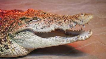 Nile Crocodile Opens Mouth Showing teeth