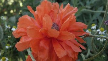 las amapolas escarlatas se mecen en la brisa del verano