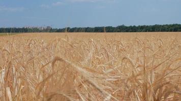 um campo de centeio balançando com o vento
