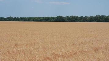 A Huge Field of Ripe Rye
