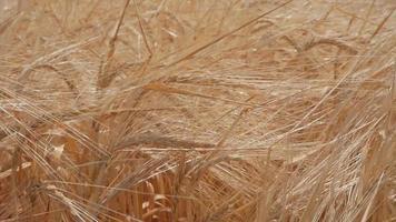 Ripe Rye In The Field