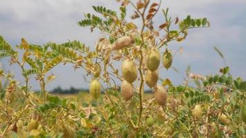 Closeup of Ripening Chickpeas on the Field
