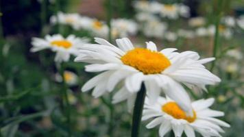 margaritas en el jardín bailan en la brisa