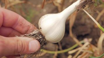 granjero pelando la cabeza del ajo