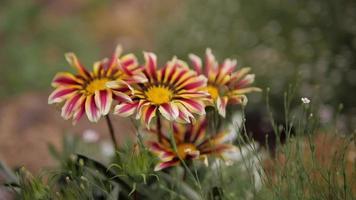 margaritas tricolores en un campo