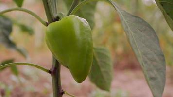 vista isolata di peperone verde fresco
