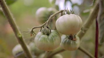 tomates verdes en la vid video