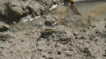 Group of Fiddler Crabs in the Mud