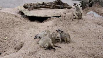 Group of Meerkats
