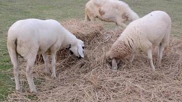 Sheep Eating Straw