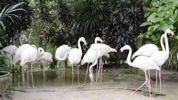 Group of Flamingos In the Pond