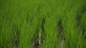 campo de arroz verde video