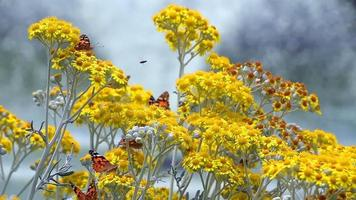 Butterfly named Vanesa Cardui on Yellow Flowers video