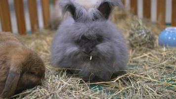 um coelho britânico está comendo feno em uma gaiola de madeira.