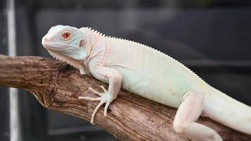 Exotic green and white iguana