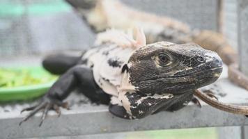 Exotic black and white iguana
