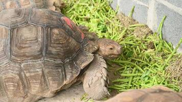Group of African spurred tortoise eating fresh vegetable