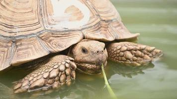 African spurred tortoise relaxing in water