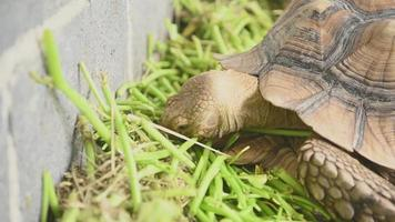 African spurred tortoise in zoo park eating fresh grass