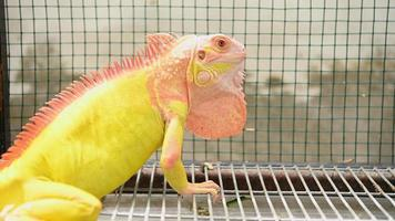 Exotic yellow and orange lizard iguana in zoo video