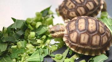 Group of baby African tortoise eating vegetables
