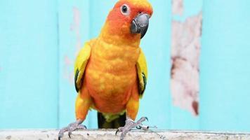 papagaio conure sol descansando em um galho video