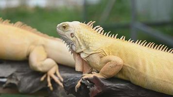Exóticas iguanas amarillas y doradas relajándose en madera