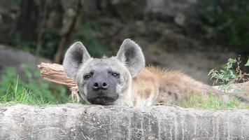 retrato de una hiena