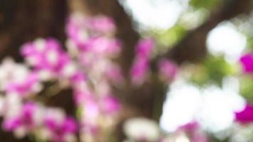 fuoco spostato colpo di orchidee rosa video