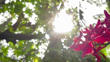 orchidee rosa delicatamente fiorite in mostra video