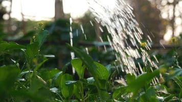 Pouring Water On The Garden