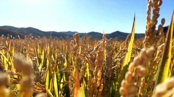 gros plan de champ de blé video