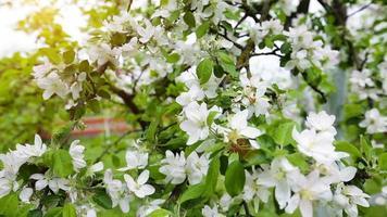 macieira flores brancas