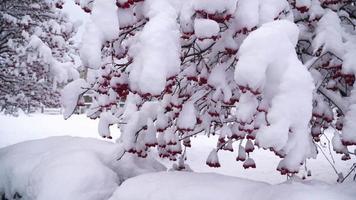 Árbol viburnum de invierno con frutos rojos cubiertos de nieve