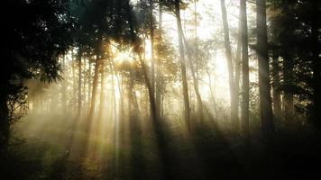 floresta de manhã ensolarada e nevoeiro