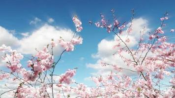 Sakura Tree And Clouds Time Lapse