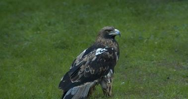 Lonely Mountain Eagle Standing On The Grass