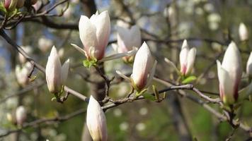 White magnolia flowers on a tree branch
