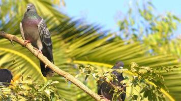 piccioni su un albero