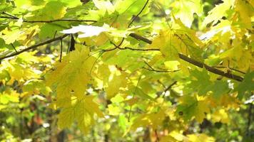 Outono folhas verdes amarelas nas árvores