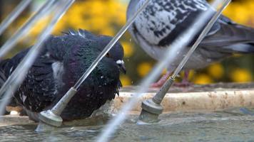 pombos perto da fonte